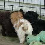 Puppies in a Havanese huddle!
