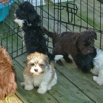 the many colors of Havanese puppies