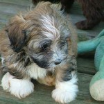 multi-color Havanese puppy