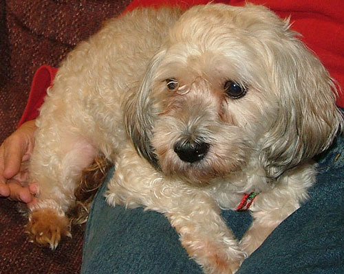 Rory - a Havanese Resuce