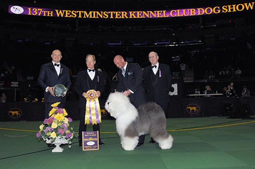 SWAGGER wins Reserve Best in Show at 2013 WKC Dog Show, Old English Sheepdog