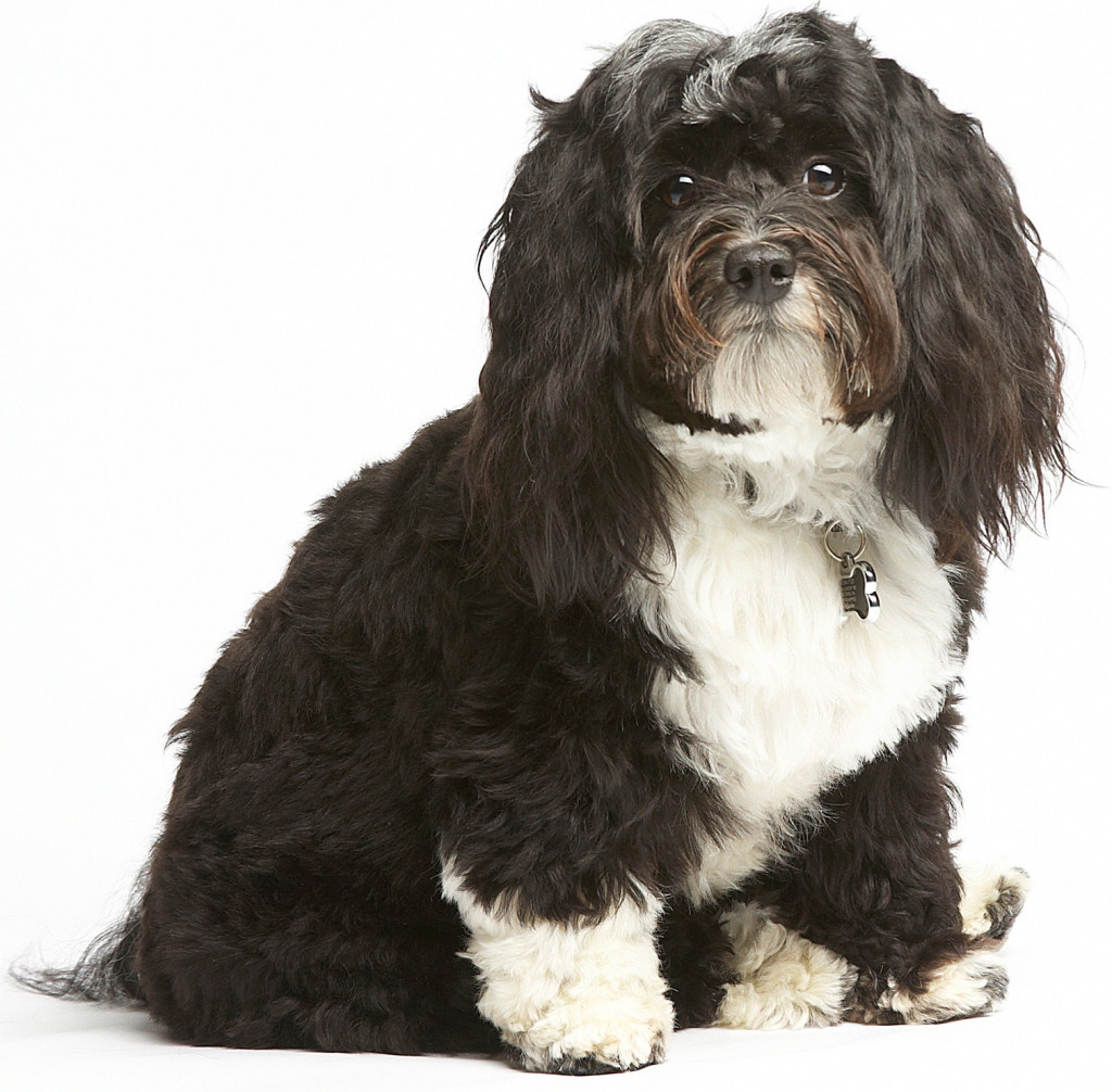 Handsome Cooper, a 2 year old Havanese