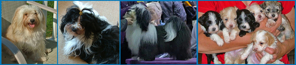 4 generations of Havanese from Havs de Grace, Maryland