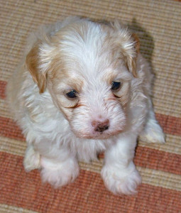 Male Havanese Pup - 5 weeks old - from Havs de Grace - May 2014