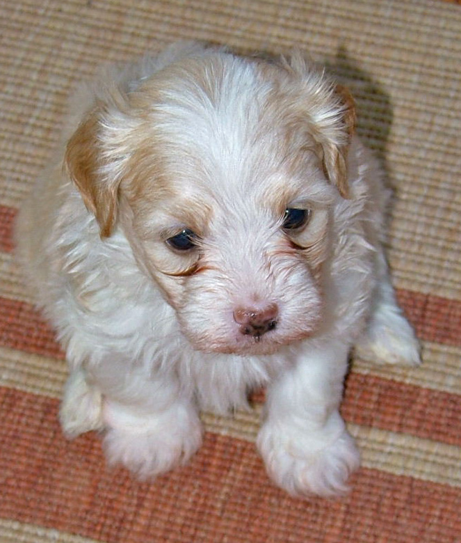 Male Havanese Pup - 6 weeks old - from Havs de Grace - May 2014