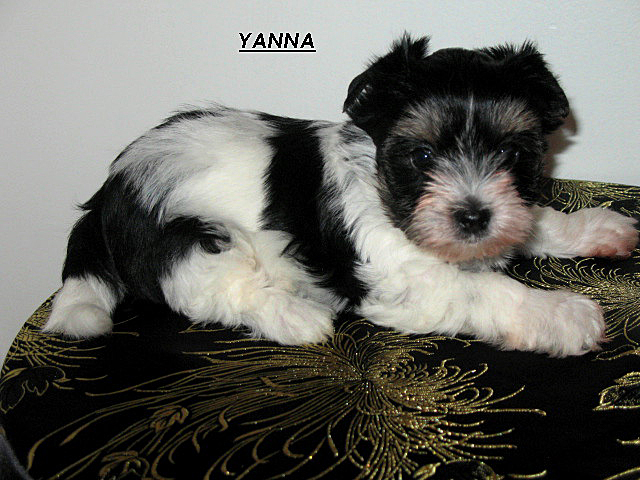 Only 2-1/4 lbs... but already posing like a 'star.' Yanna - a Biewer Terrier - will be joining us from Alabama in August.
