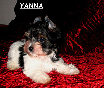 Yanna, a Biewer Terrier, will soon be coming to Havre de Grace, MD