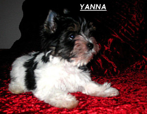 Yanna - a new breed, Biewer Terrier - will soon arrive at Havs de Grace!