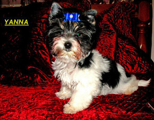 Yanna loves the camera... our first Biewer Terrier