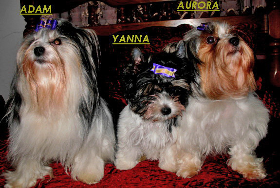 Yanna - a Biewer Terrier - with her sire and dam.