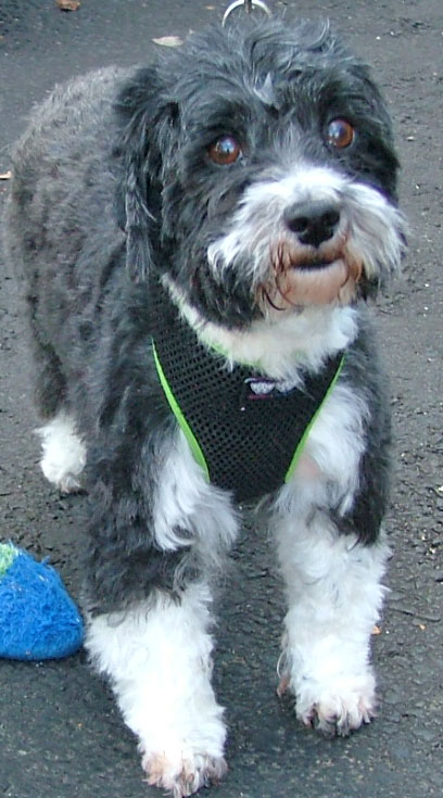 Daisy - a beautiful Havanese