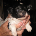 Beautiful Havanese Puppies at 2 weeks old from Havs of Havre de Grace