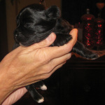 One male Havanese puppy looking for his Forever Family!