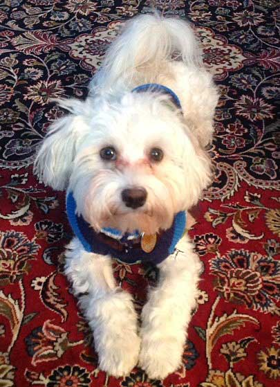 DeLaney family's Beau Bentley, Havanese puppy