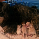 LOLLA MAE de Grace, our Havana Silk Dog (Havanese) with her new pups.