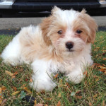 Havanese puppy, Charlie Brown