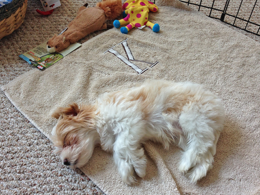 Havanese Charlie Brown takes a bit of nap after checking out his new home.