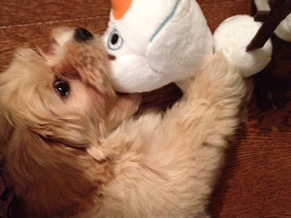 Havanese puppy Finegan enjoys his very own toy!