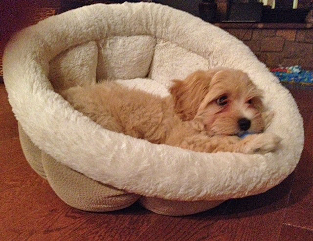 Havanese puppy Finegan rests after meeting his Forever Family!