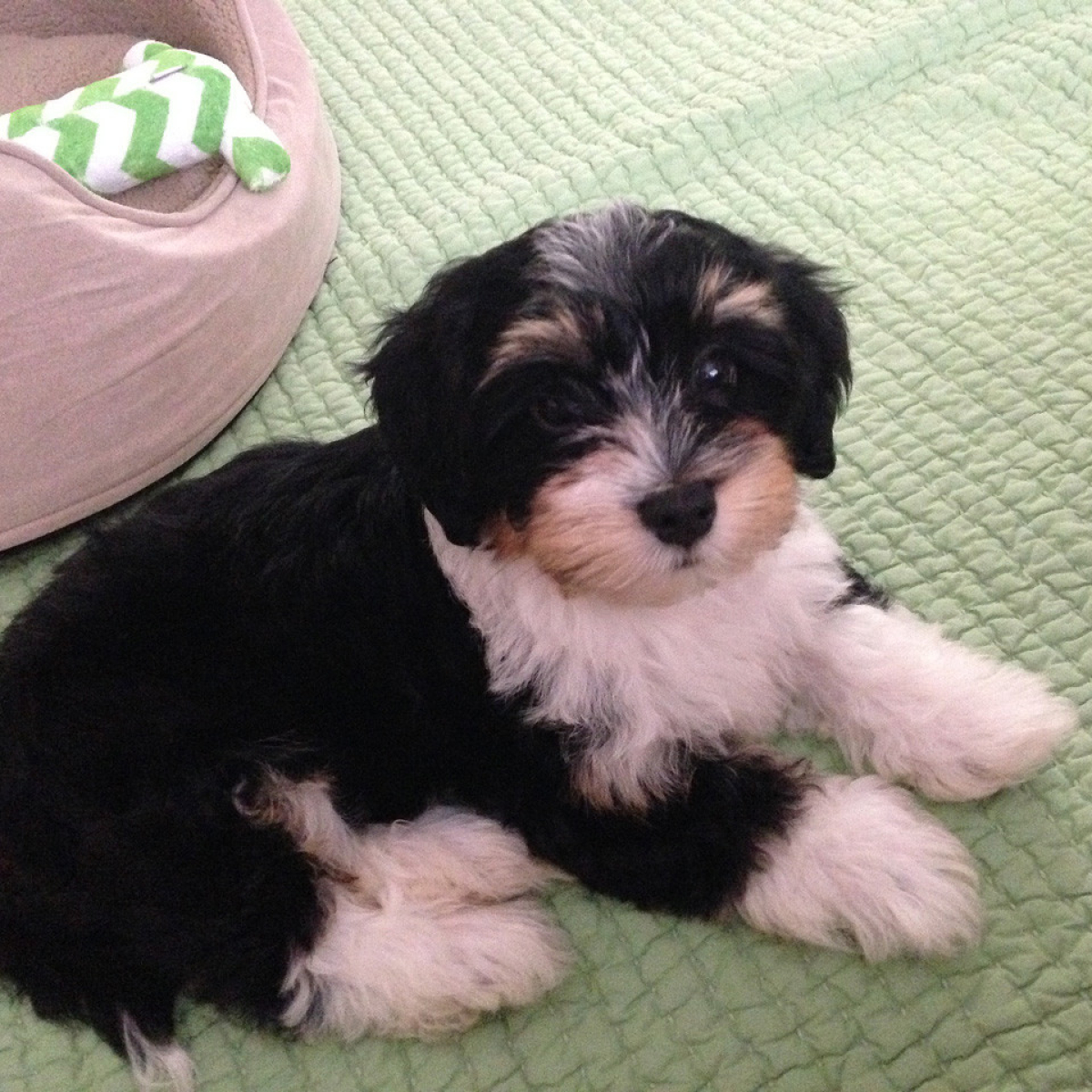 Havanese Puppy Ollie Joins His Forever Family_1