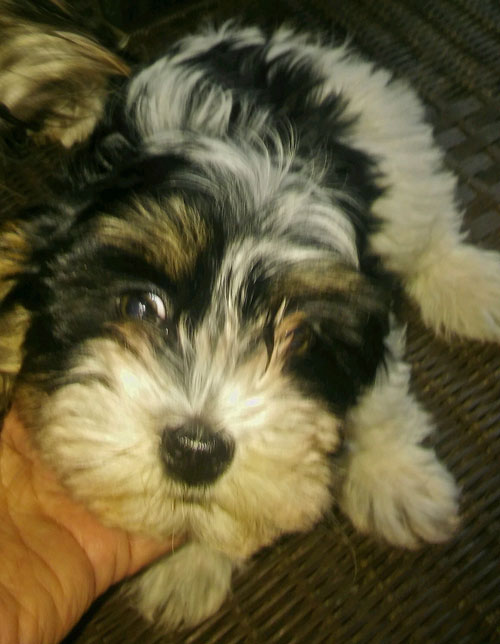 face of a beautiful Havanese puppy