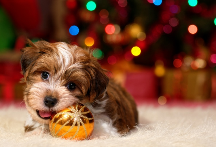 Havanese Christmas puppy