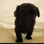 puppy 12