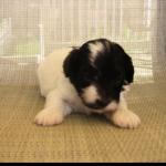 puppy 15