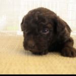 puppy 17