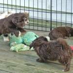 Playful Havanese puppies