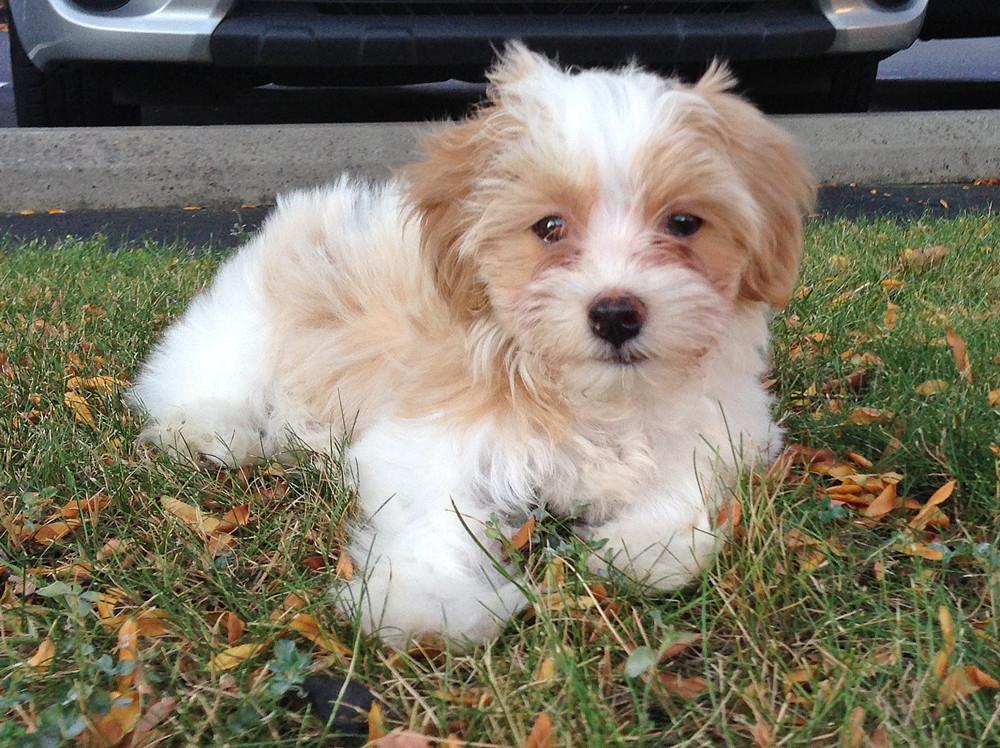 Havanese puppy, Charlie Brown