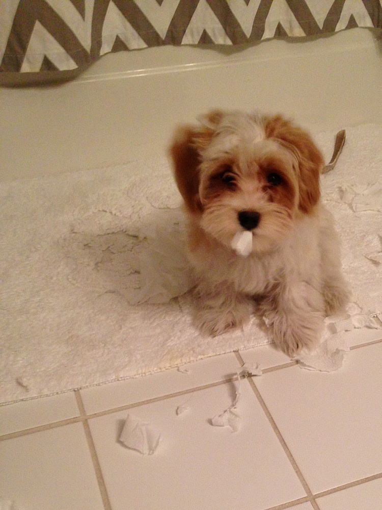 "Uh-oh, Charlie Brown, Havanese puppy, has discovered ""toilet paper""!!!"