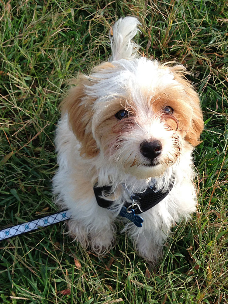 Havanese puppy Charlie Brown loves going to the park!